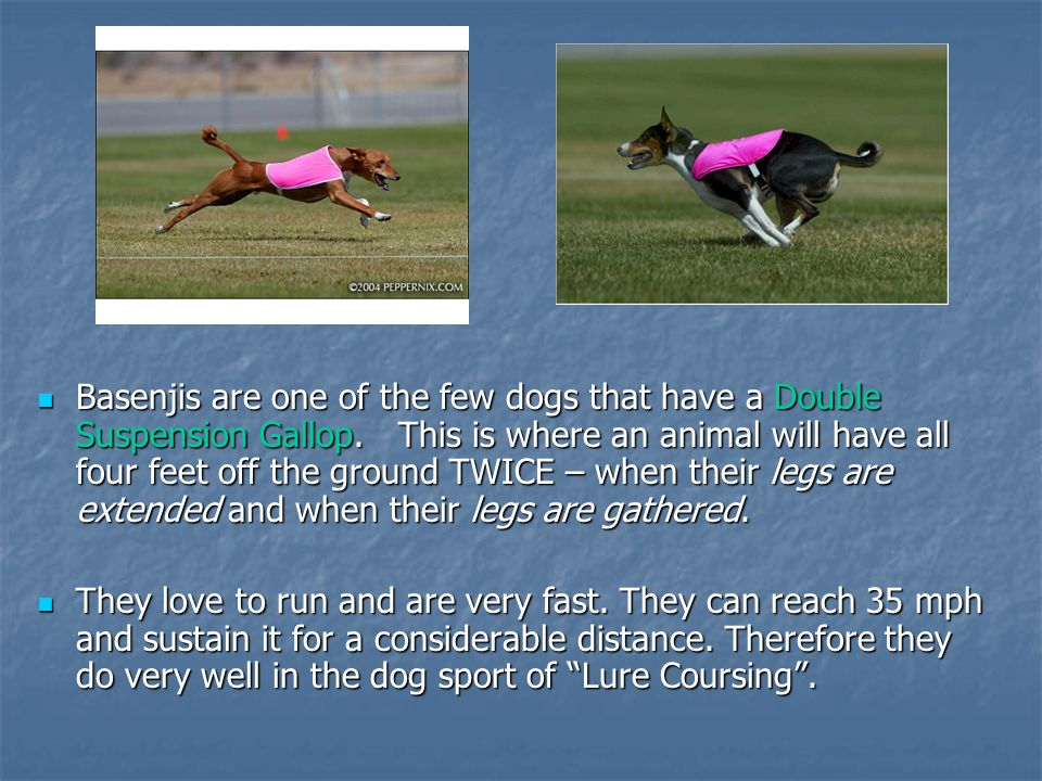 Basenjis are one of the few dogs that have a Double Suspension Gallop