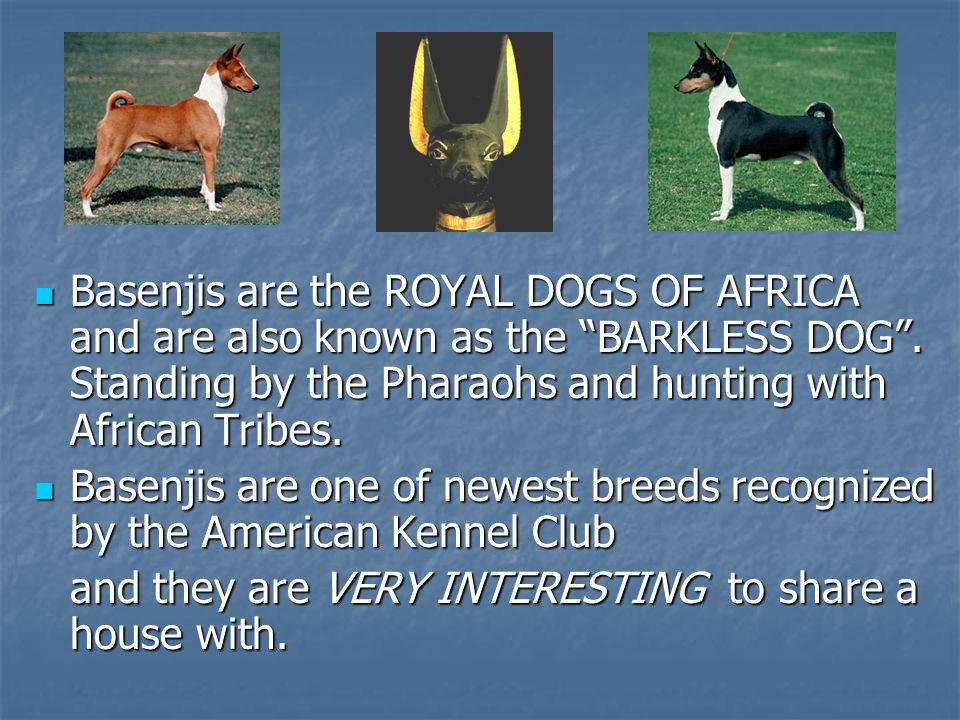 Basenjis are the ROYAL DOGS OF AFRICA and are also known as the BARKLESS DOG . Standing by the Pharaohs and hunting with African Tribes.