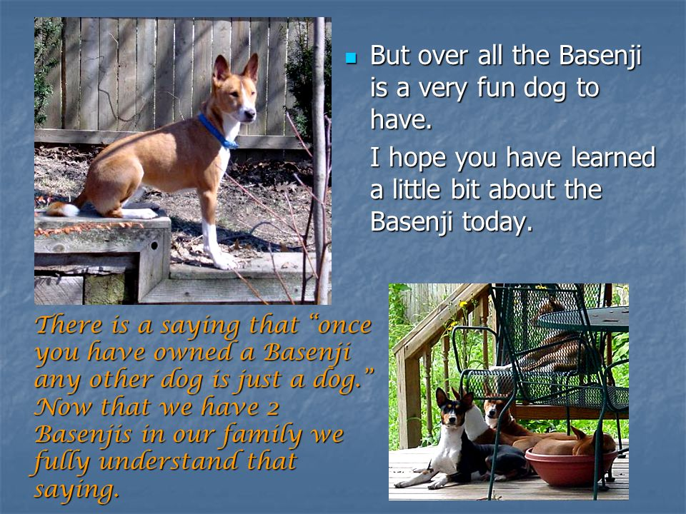 But over all the Basenji is a very fun dog to have.