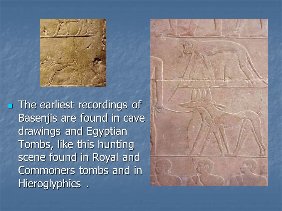 The earliest recordings of Basenjis are found in cave drawings and Egyptian Tombs, like this hunting scene found in Royal and Commoners tombs and in Hieroglyphics .