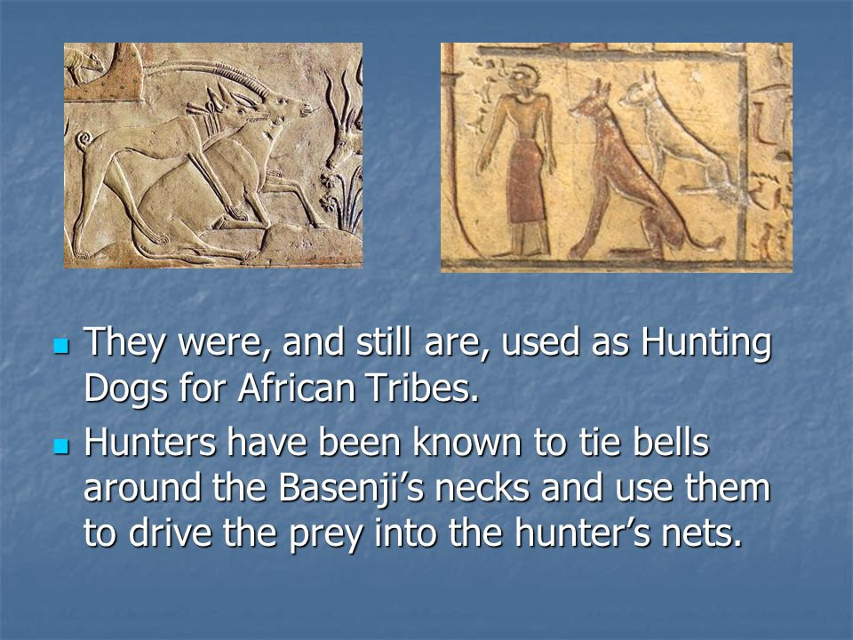 They were, and still are, used as Hunting Dogs for African Tribes.