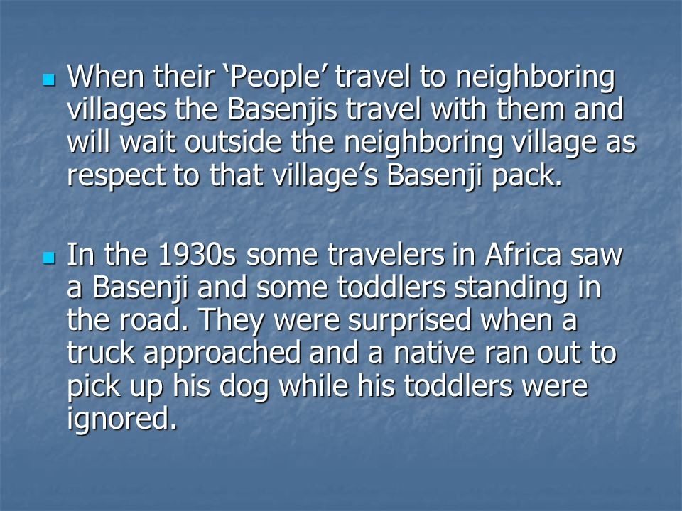 When their 'People' travel to neighboring villages the Basenjis travel with them and will wait outside the neighboring village as respect to that village's Basenji pack.