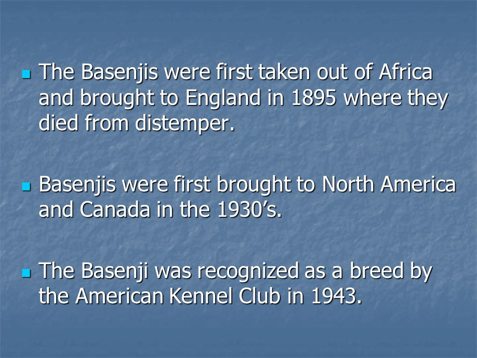 The Basenjis were first taken out of Africa and brought to England in 1895 where they died from distemper.
