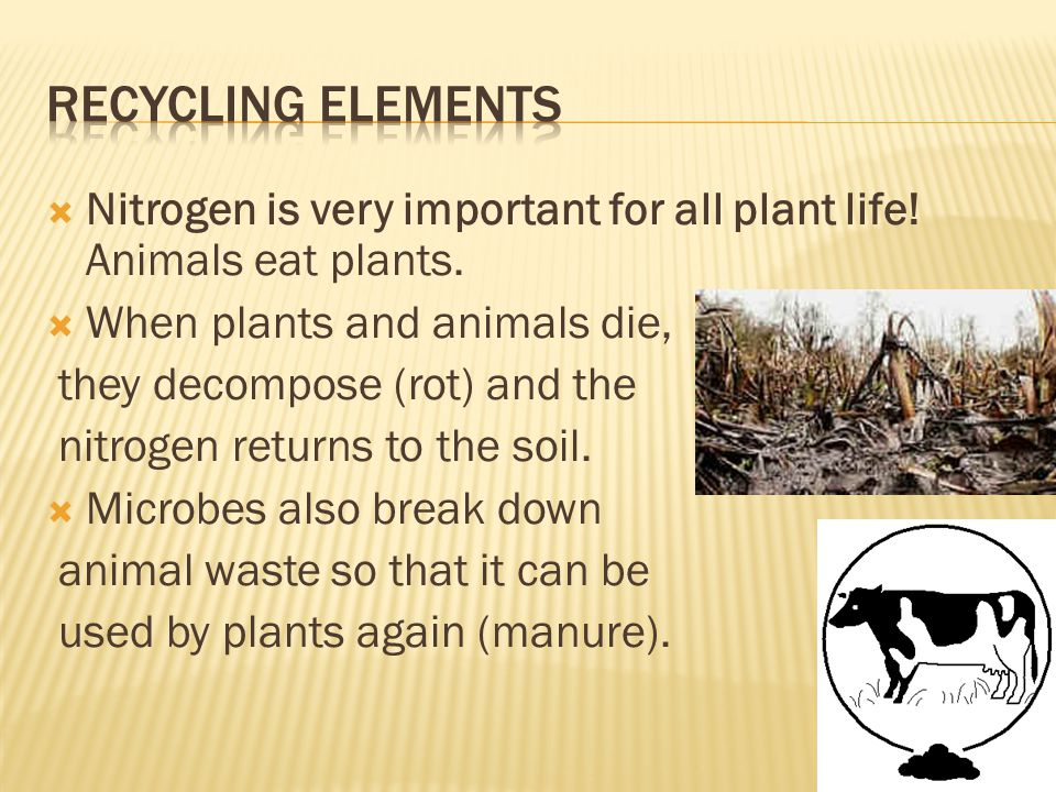 Recycling elements Nitrogen is very important for all plant life! Animals eat plants. When plants and animals die,