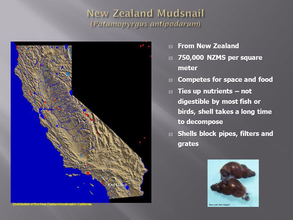 New Zealand Mudsnail (Potamopyrgus antipodarum)