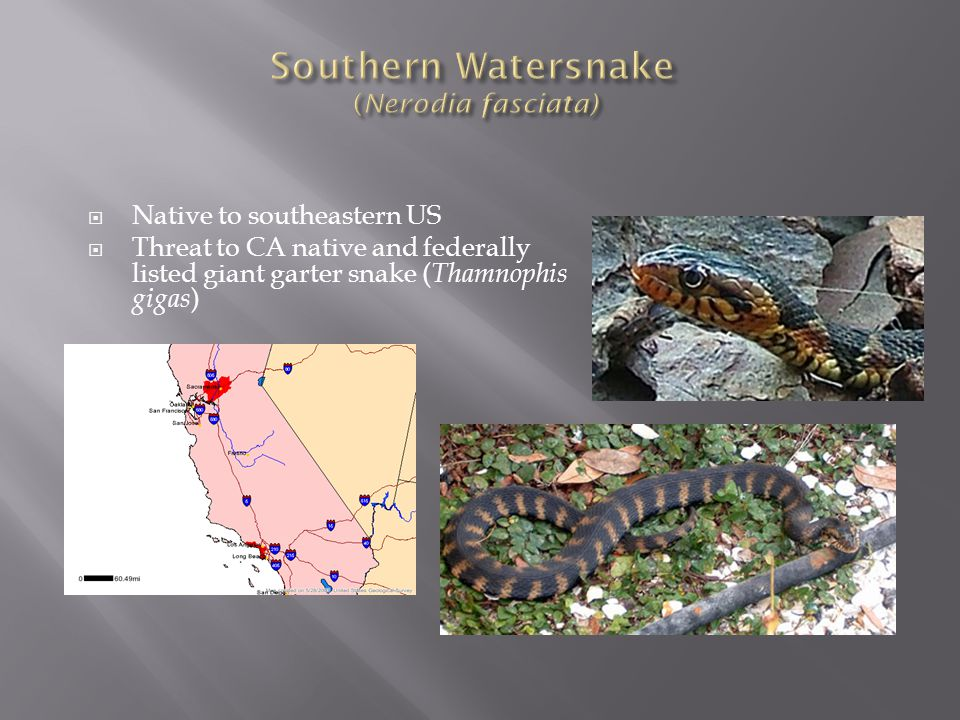 Southern Watersnake (Nerodia fasciata)