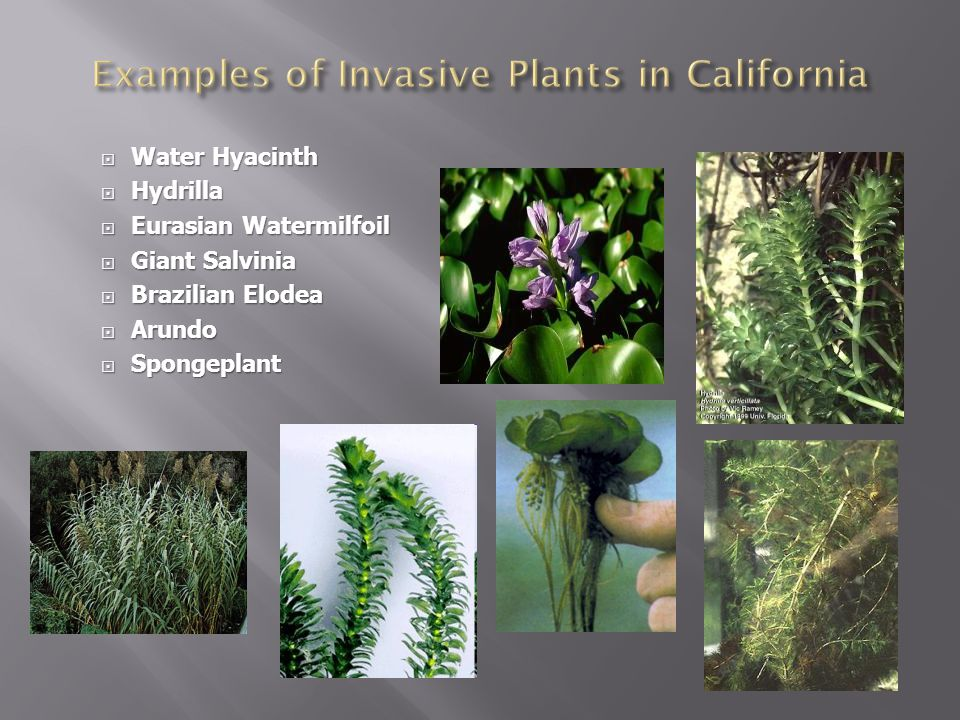 Examples of Invasive Plants in California