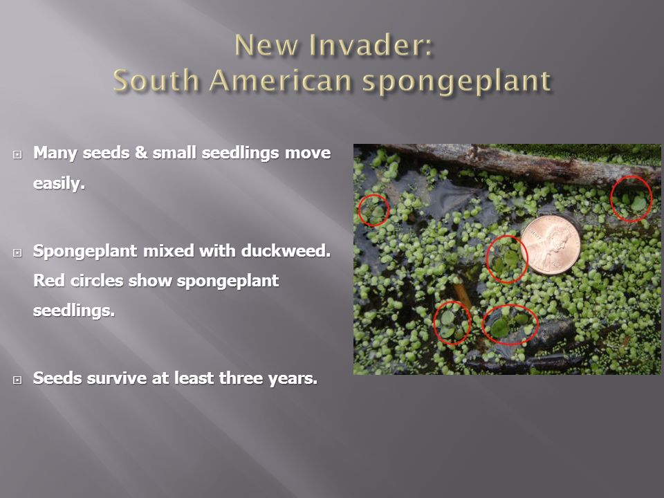New Invader: South American spongeplant
