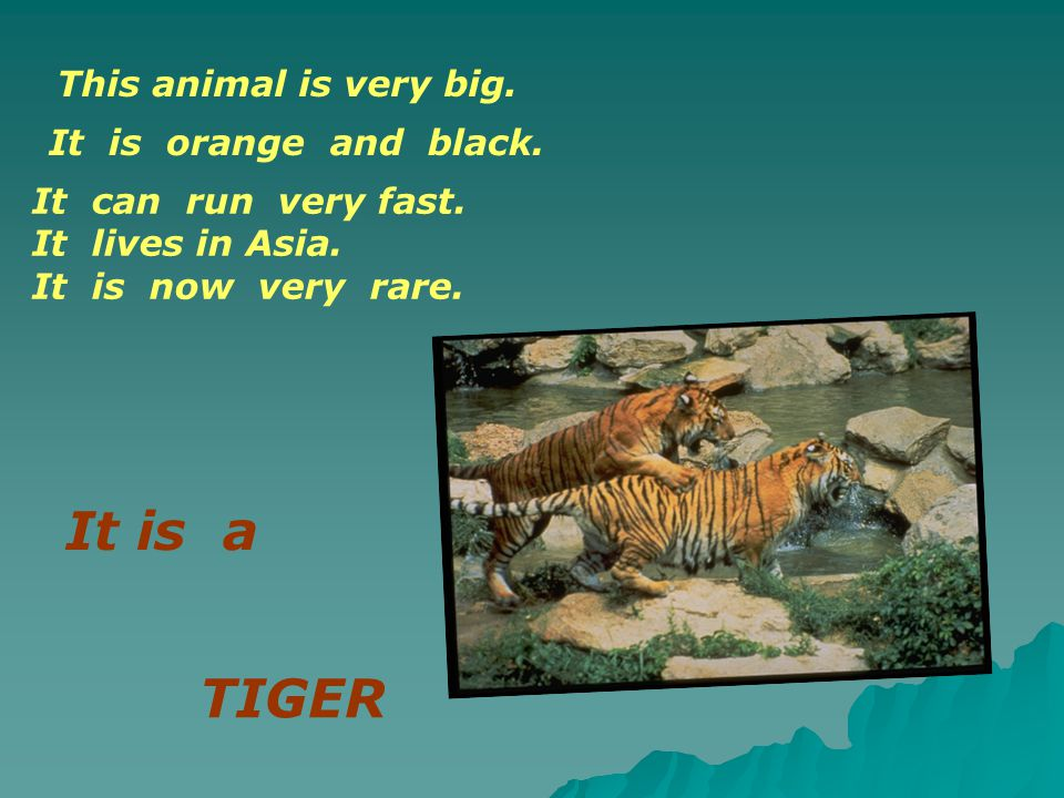It is a TIGER This animal is very big. It is orange and black.
