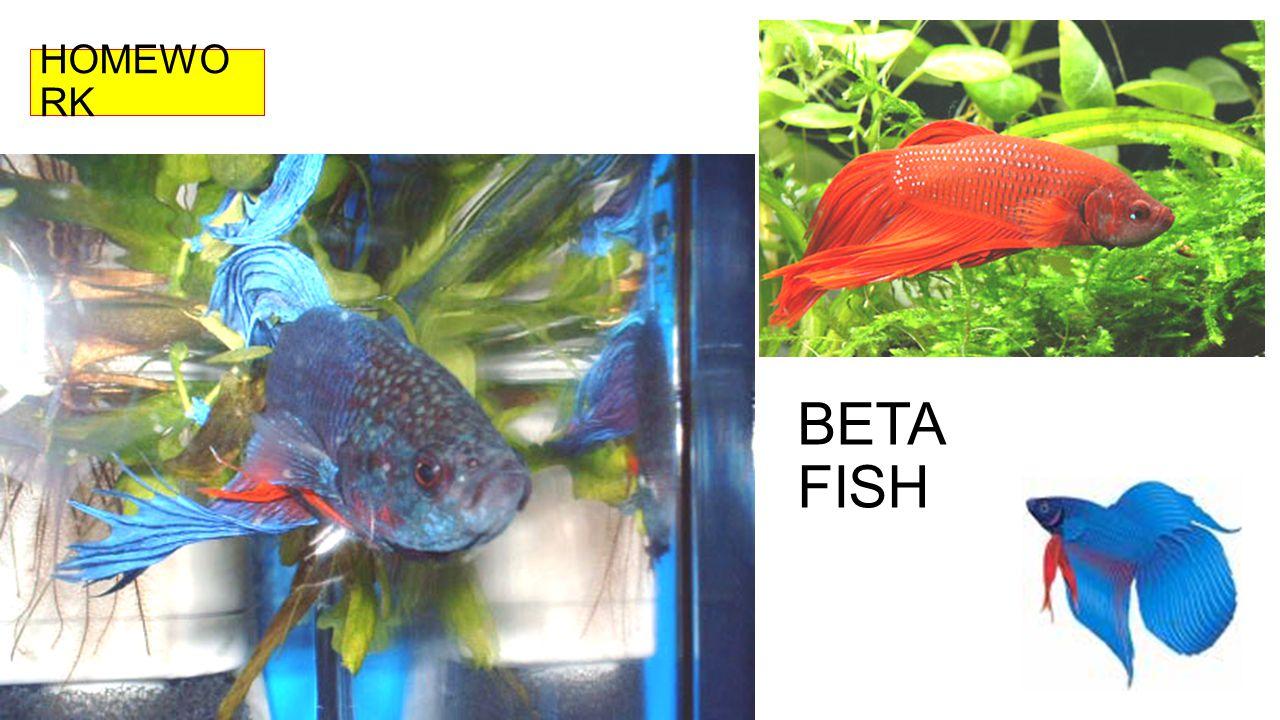 HOMEWORK BETA FISH