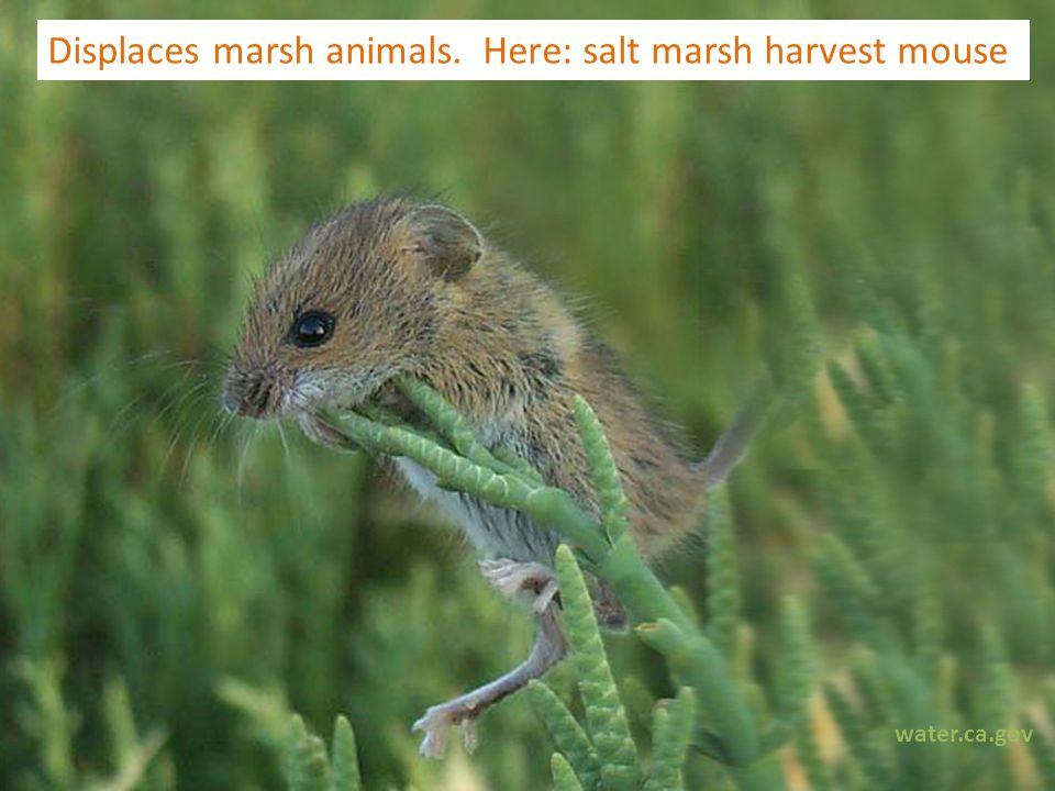 Displaces marsh animals. Here: salt marsh harvest mouse