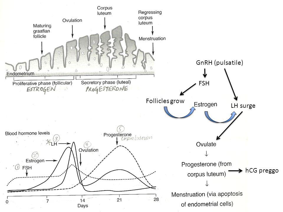 GnRH (pulsatile) FSH Follicles grow LH surge hCG preggo
