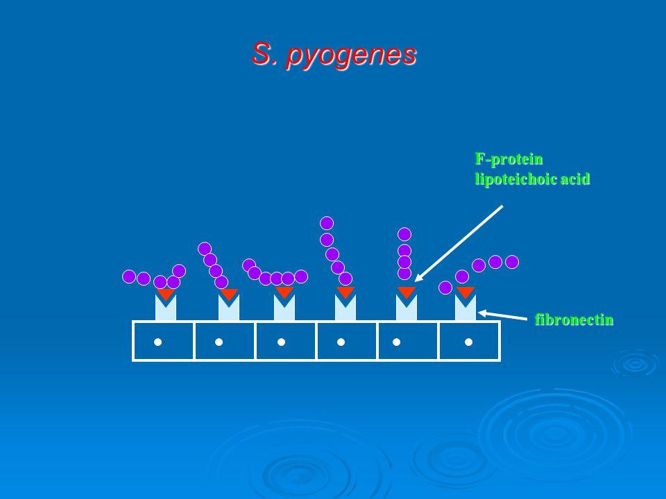 S. pyogenes F-protein lipoteichoic acid fibronectin
