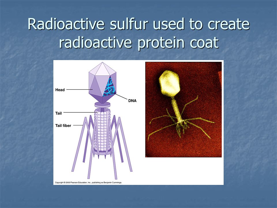Radioactive sulfur used to create radioactive protein coat