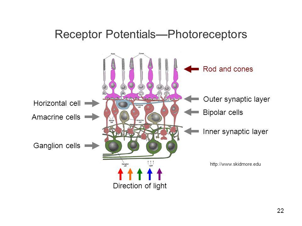 Receptor Potentials—Photoreceptors