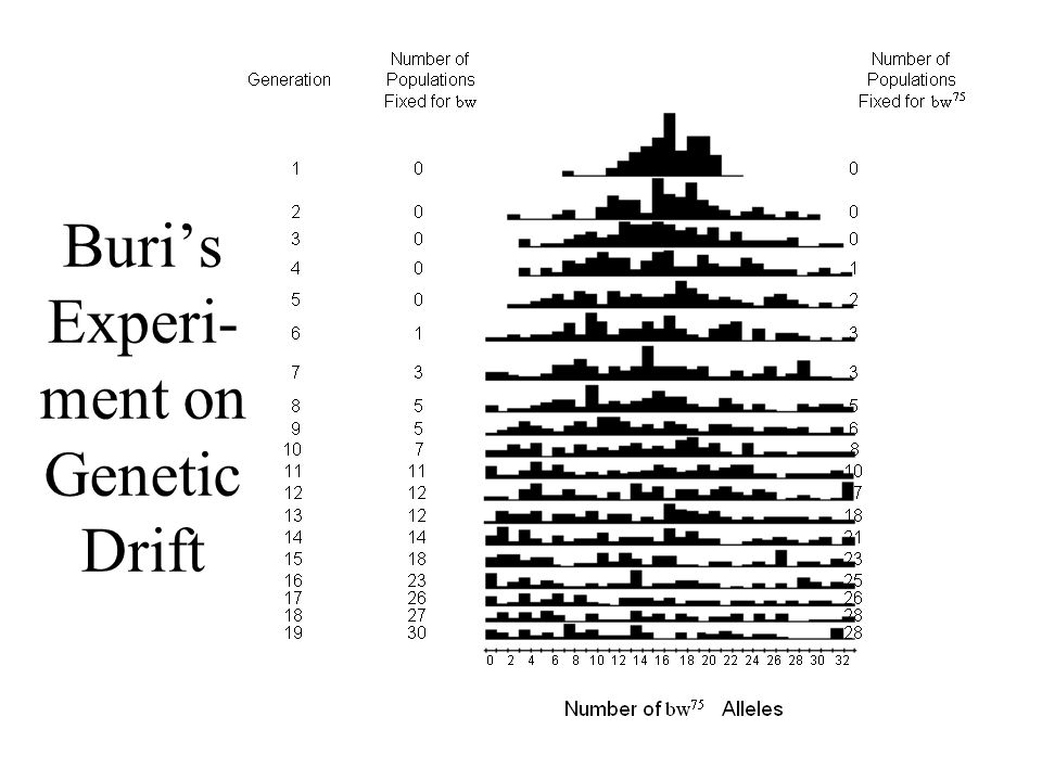 Buri's Experi-ment on Genetic Drift