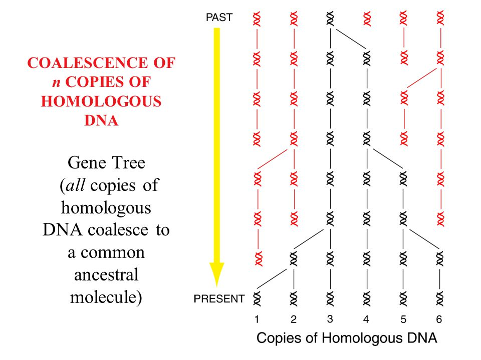 COALESCENCE OF n COPIES OF HOMOLOGOUS DNA