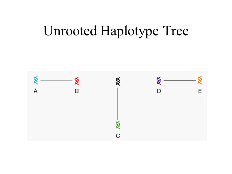 Unrooted Haplotype Tree