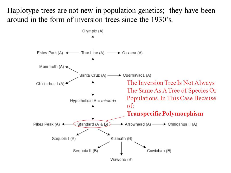 Haplotype trees are not new in population genetics; they have been around in the form of inversion trees since the 1930's.