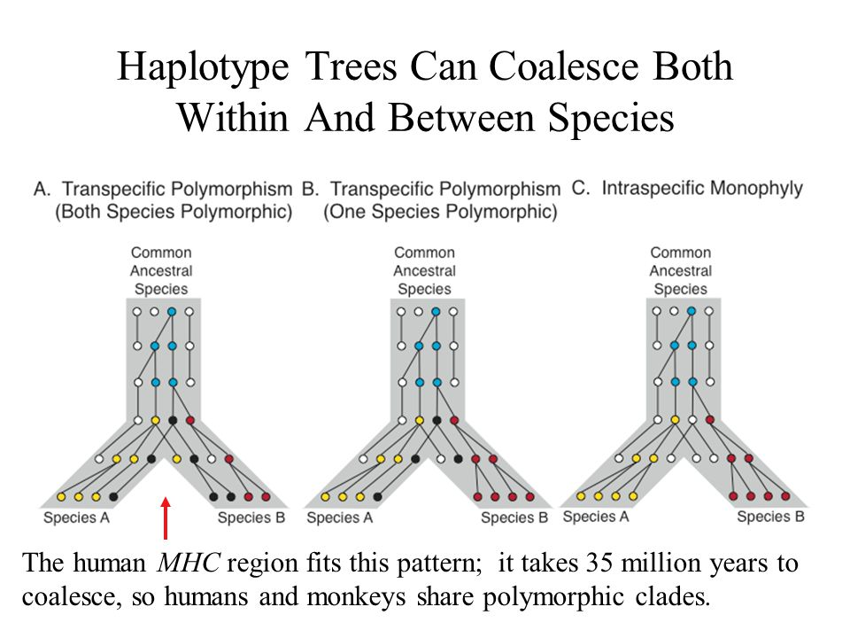 Haplotype Trees Can Coalesce Both Within And Between Species