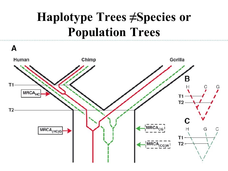 Haplotype Trees ≠Species or Population Trees