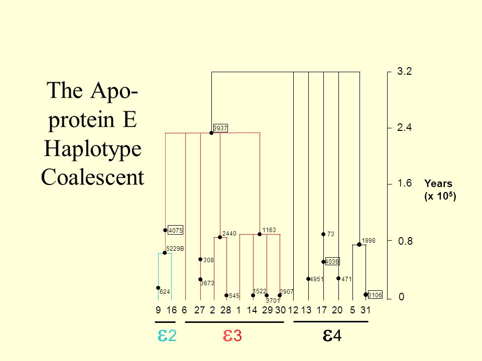 The Apo-protein E Haplotype Coalescent