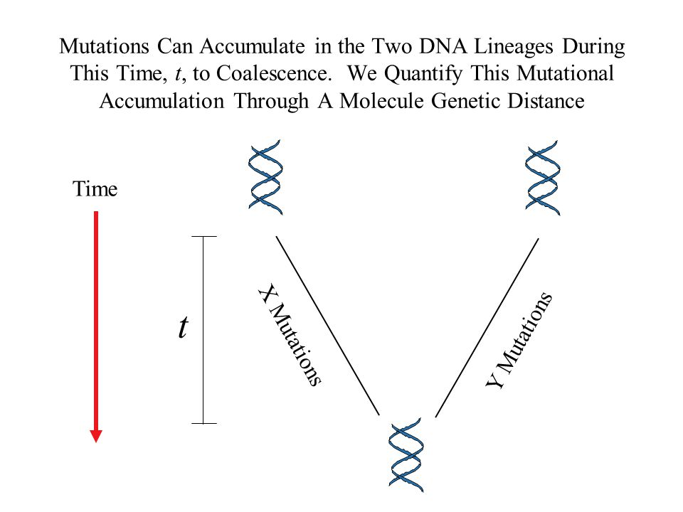Mutations Can Accumulate in the Two DNA Lineages During This Time, t, to Coalescence. We Quantify This Mutational Accumulation Through A Molecule Genetic Distance