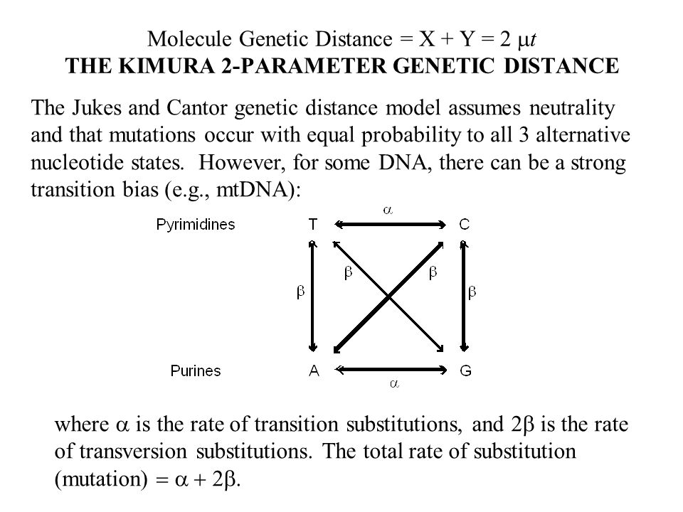 Molecule Genetic Distance = X + Y = 2 t THE KIMURA 2-PARAMETER GENETIC DISTANCE