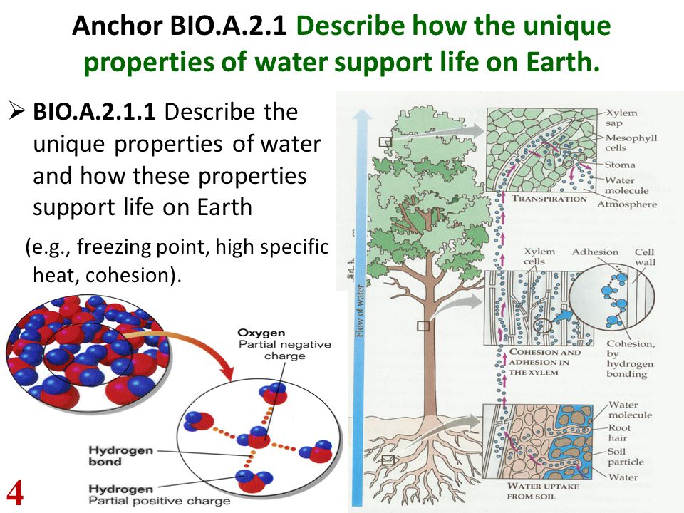 Anchor BIO.A.2.1 Describe how the unique properties of water support life on Earth.