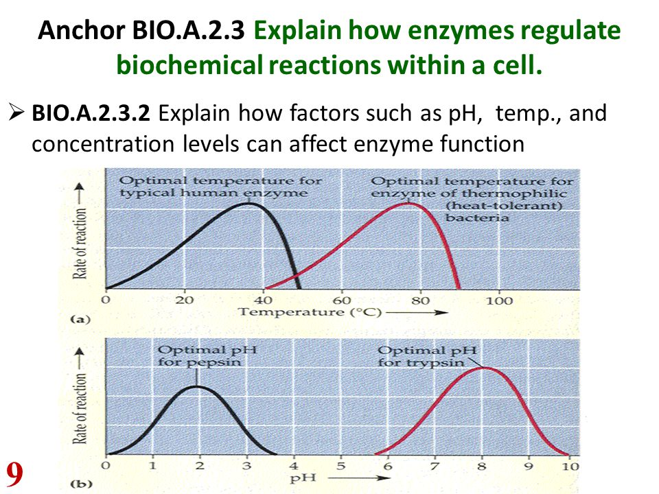 Anchor BIO.A.2.3 Explain how enzymes regulate biochemical reactions within a cell.