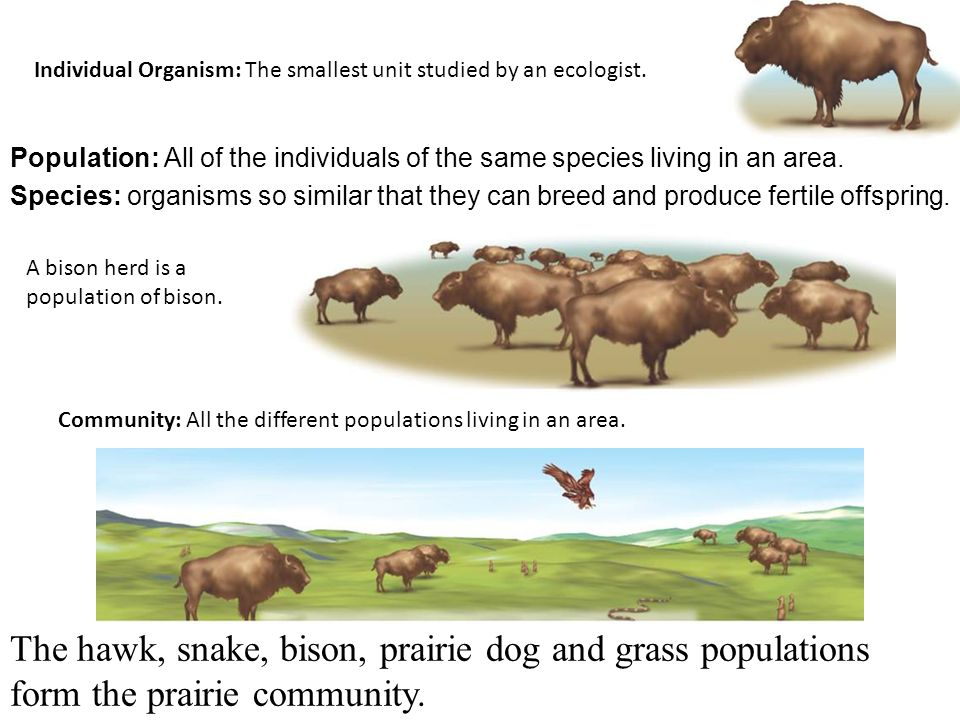 Individual Organism: The smallest unit studied by an ecologist.