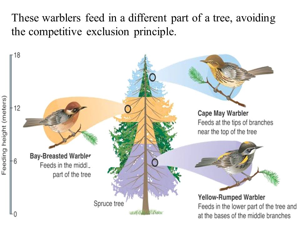 These warblers feed in a different part of a tree, avoiding the competitive exclusion principle.