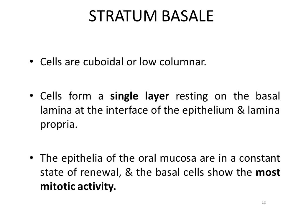 STRATUM BASALE Cells are cuboidal or low columnar.