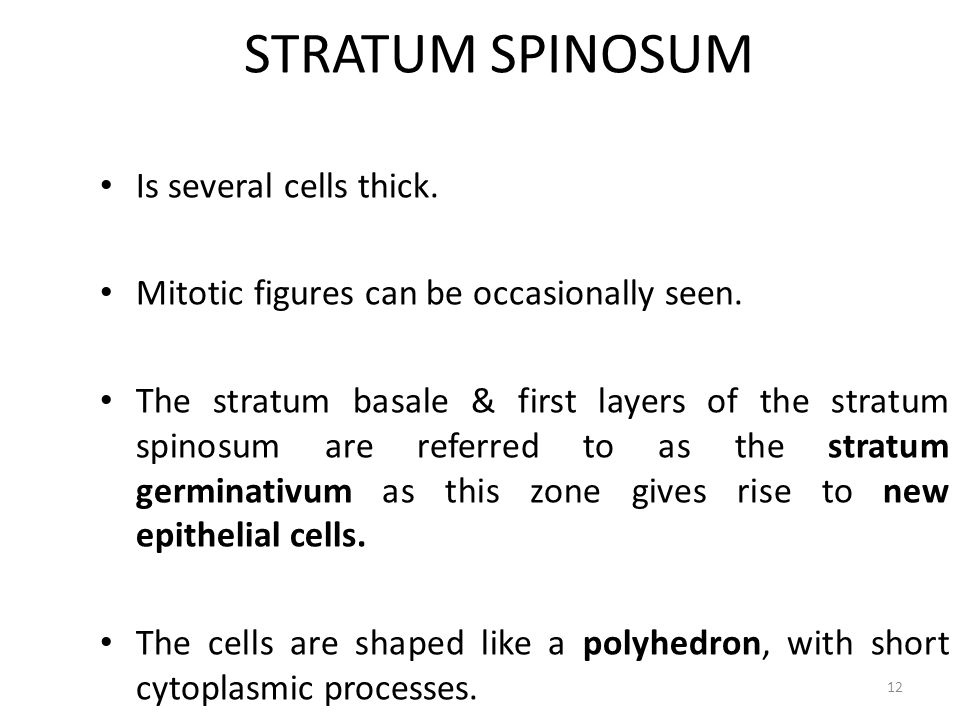 STRATUM SPINOSUM Is several cells thick.
