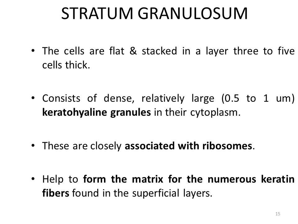 STRATUM GRANULOSUM The cells are flat & stacked in a layer three to five cells thick.