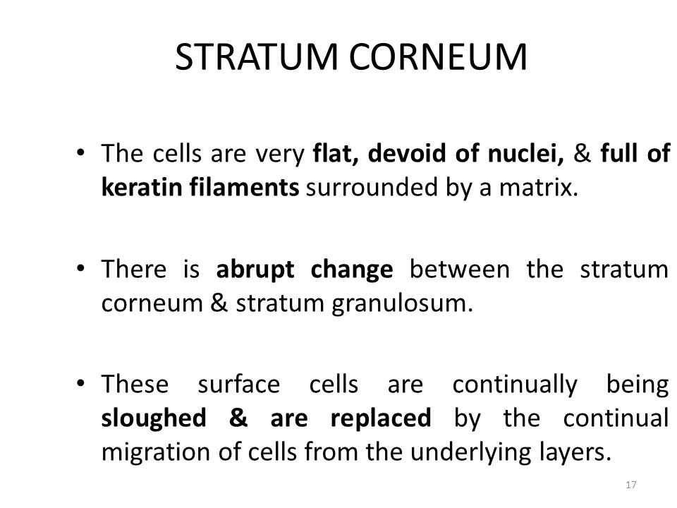STRATUM CORNEUM The cells are very flat, devoid of nuclei, & full of keratin filaments surrounded by a matrix.