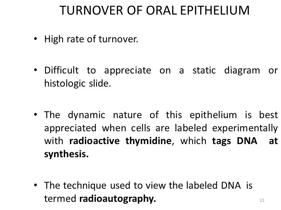 TURNOVER OF ORAL EPITHELIUM