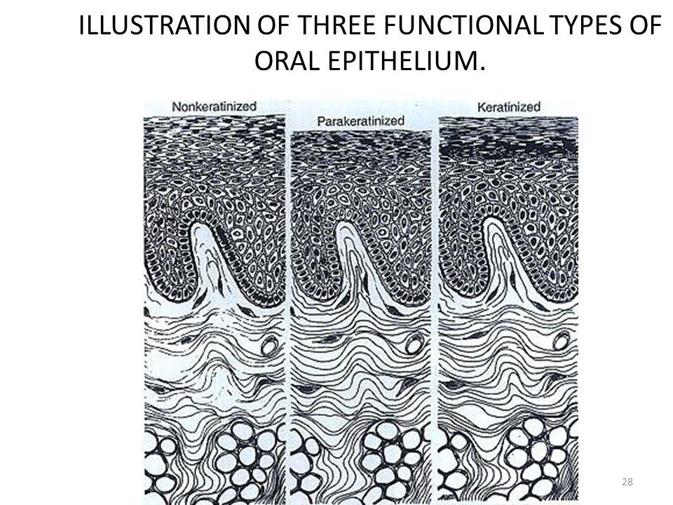 ILLUSTRATION OF THREE FUNCTIONAL TYPES OF ORAL EPITHELIUM.
