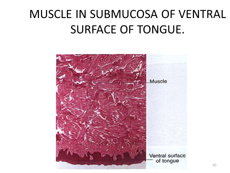 MUSCLE IN SUBMUCOSA OF VENTRAL SURFACE OF TONGUE.