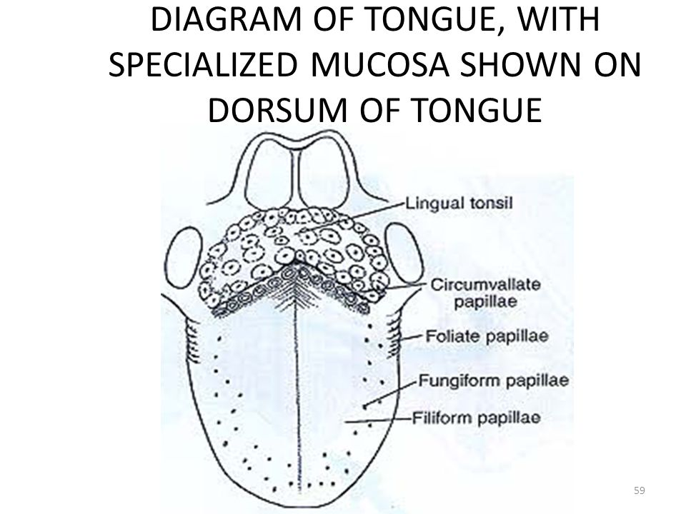 DIAGRAM OF TONGUE, WITH SPECIALIZED MUCOSA SHOWN ON DORSUM OF TONGUE