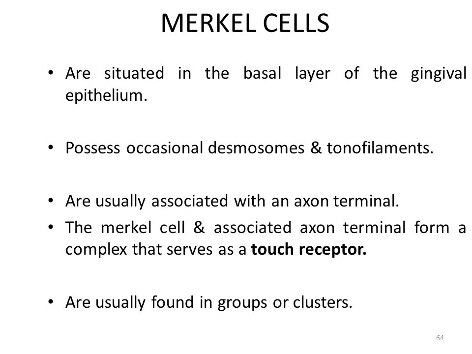 MERKEL CELLS Are situated in the basal layer of the gingival epithelium. Possess occasional desmosomes & tonofilaments.
