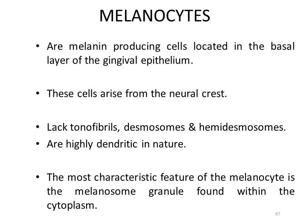 MELANOCYTES Are melanin producing cells located in the basal layer of the gingival epithelium. These cells arise from the neural crest.