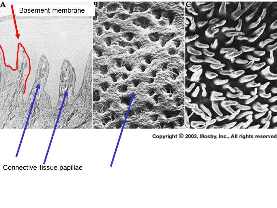 Basement membrane Connective tissue papillae