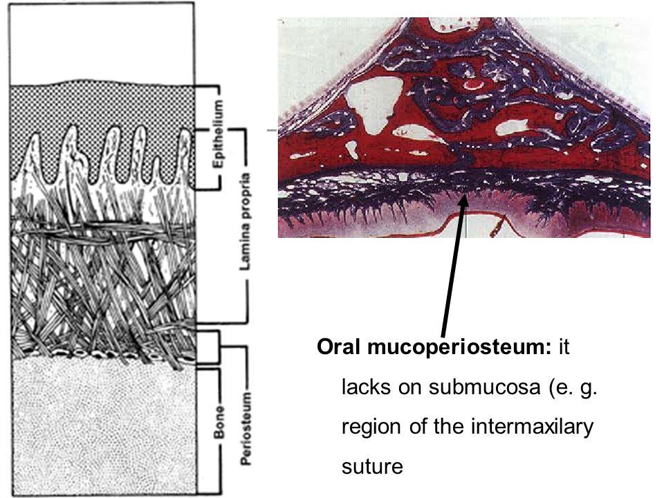 Oral mucoperiosteum: it lacks on submucosa (e. g