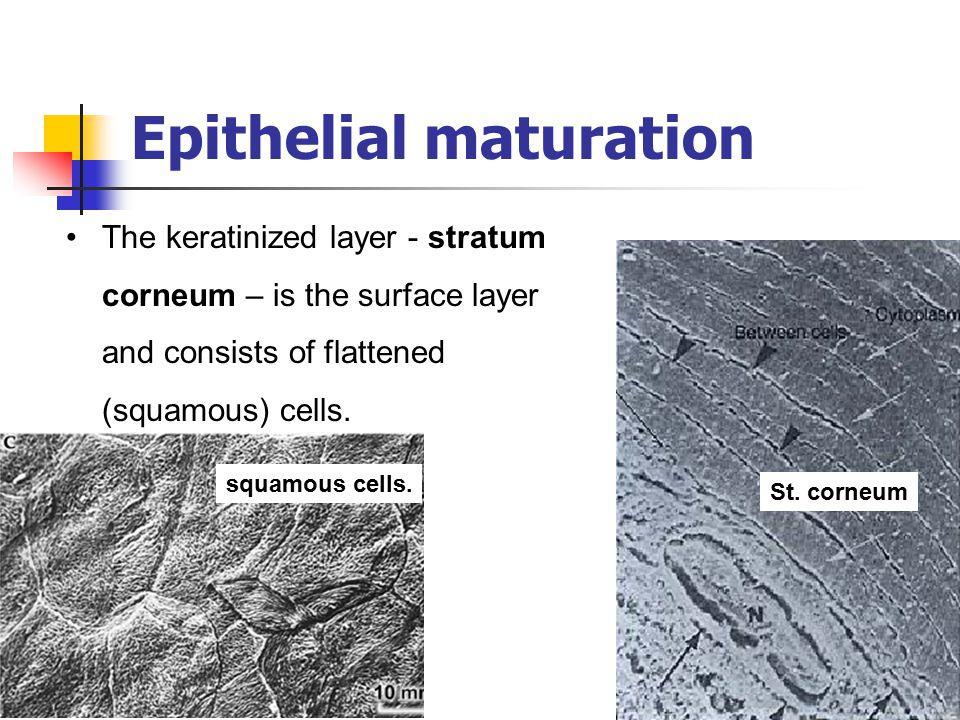 Epithelial maturation