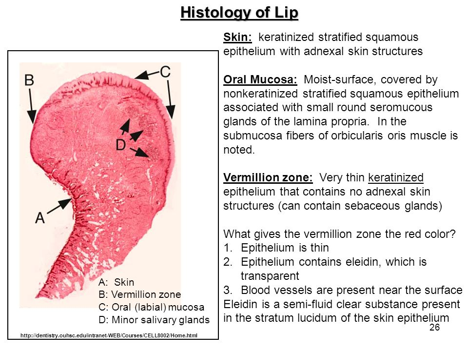 Histology of Lip Skin: keratinized stratified squamous