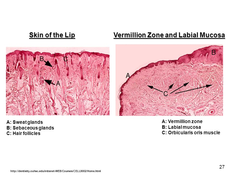 Skin of the Lip Vermillion Zone and Labial Mucosa