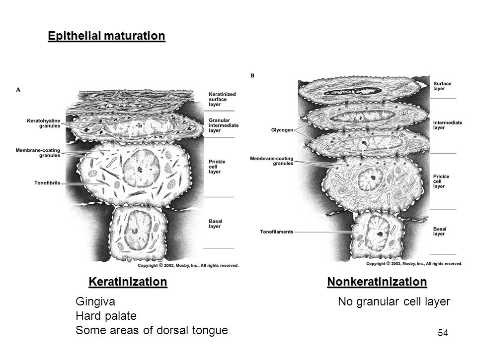 Epithelial maturation