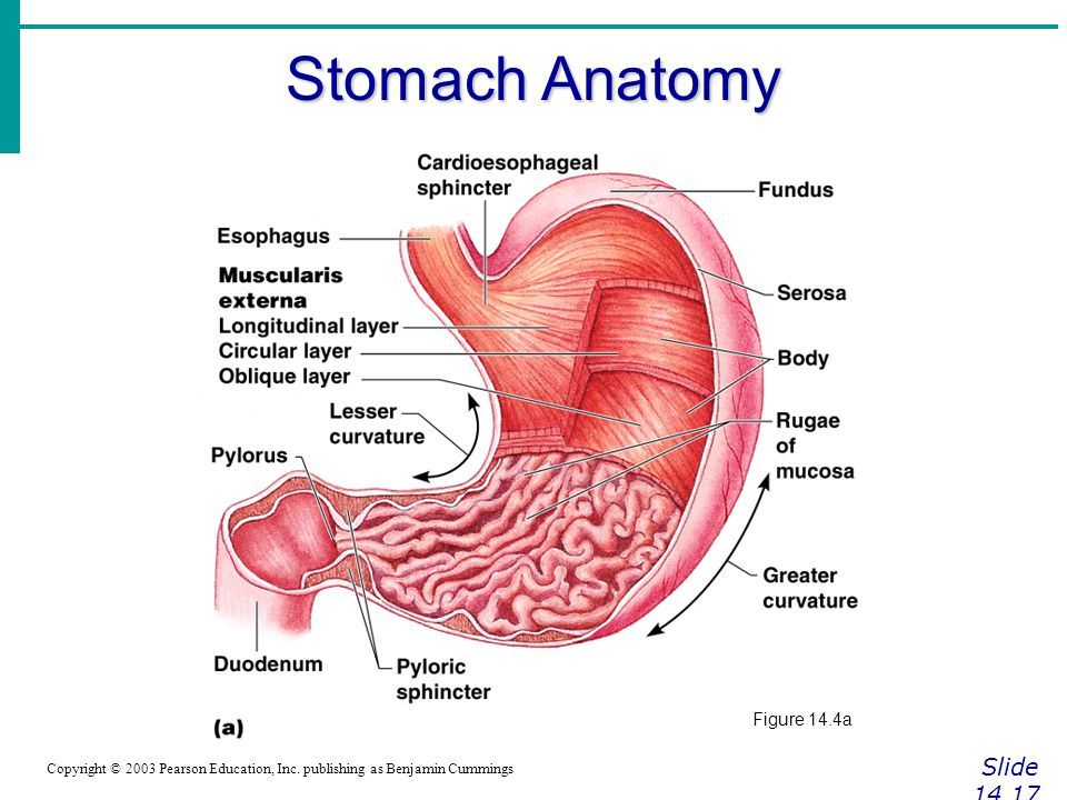 Stomach Anatomy Slide 14.17 Figure 14.4a