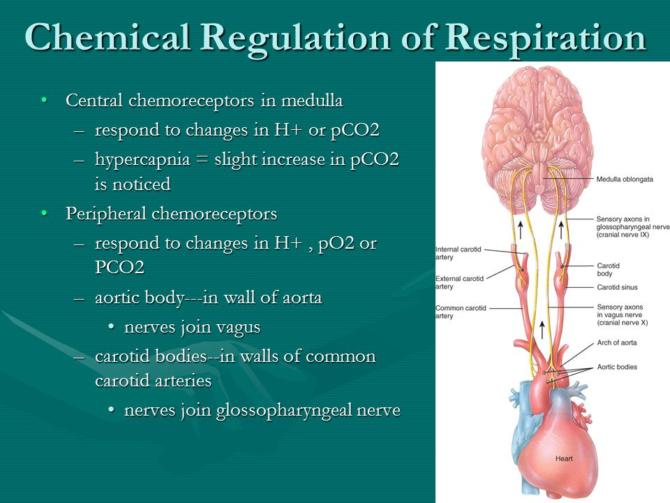 Chemical Regulation of Respiration